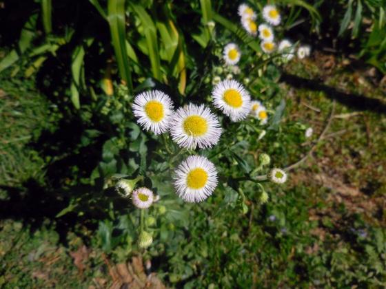 spring aster