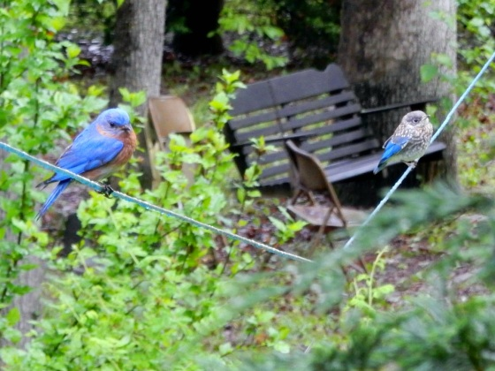Eastern Bluebird and flegdling