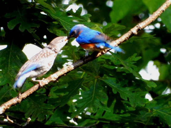 Eastern Bluebird feeding fledgling