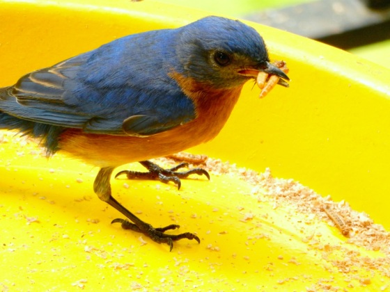 Eastern Bluebird gathering mealworms