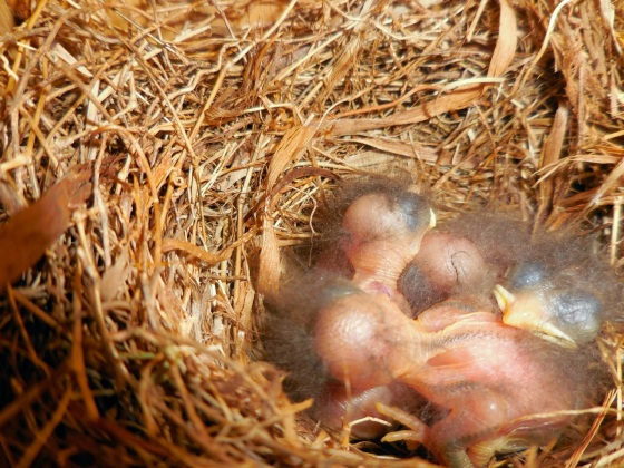 hatchling Eastern Bluebirds in nest box