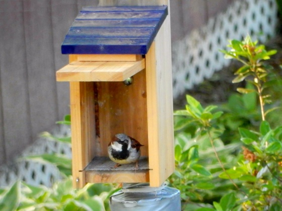 Nest box with House Sparrow in it
