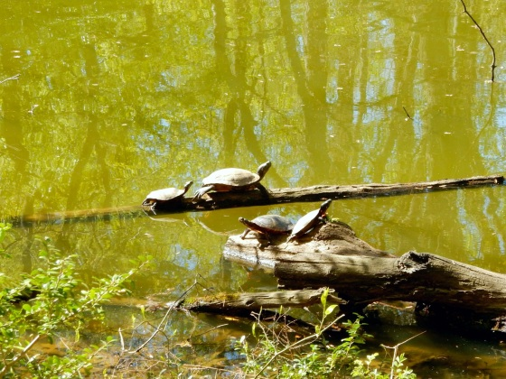 Turtles on logs