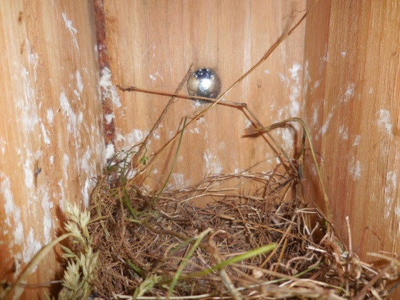 vacated bluebird nest