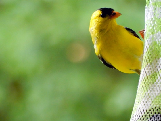 American Goldfinch on thistle sac