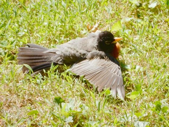 American Robin sunning