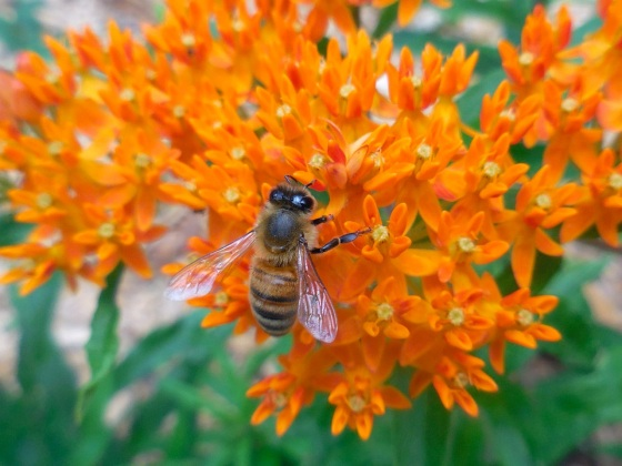 Bee on Butterfly Weed