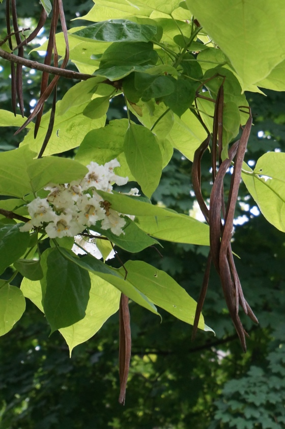 Catalpa seed pods