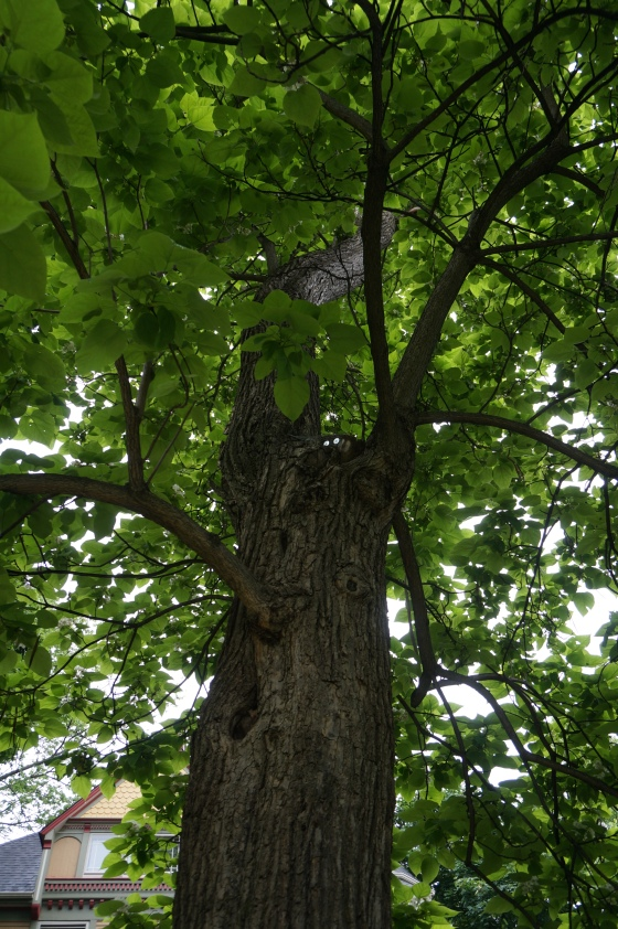 Catalpa tree underneath
