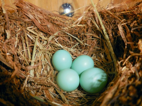 Eastern Bluebird eggs