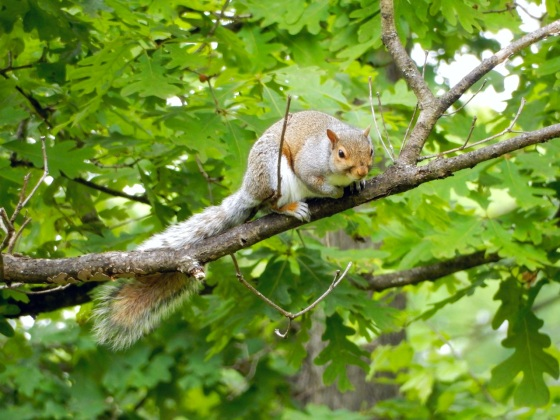 Eastern Gray Squirrel in a tree