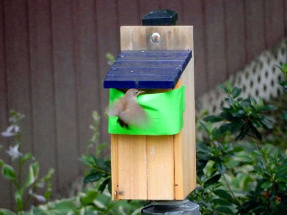 Carolina Wren trying to use bluebird nest box_1
