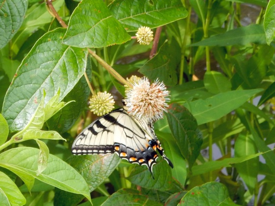 Tiger swallowtail butterfly on Common Buttonbush