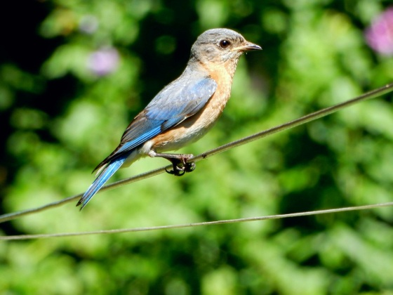 Eastern Bluebird female thin and worn