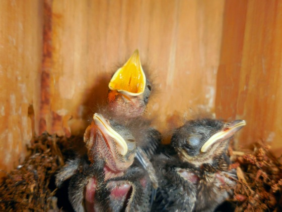 Eastern Bluebird hatchlings 12 days old_1