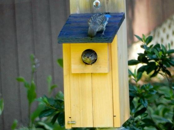 Eastern Bluebird juveniles