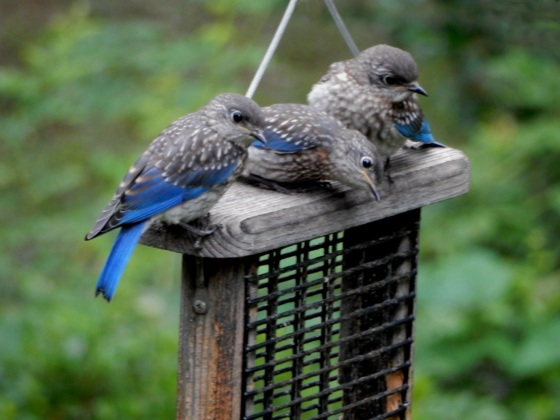 Eastern Bluebirds juveniles