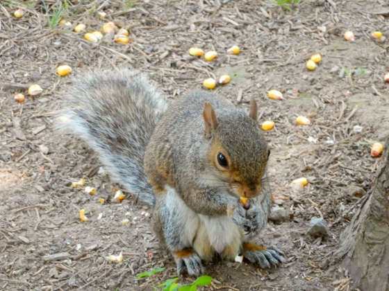Eastern Gray Squirrel eating corn