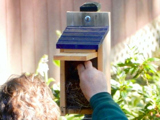 Feeding bluebird hatchlings