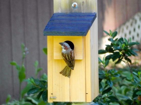House Sparrow invading bluebird nest