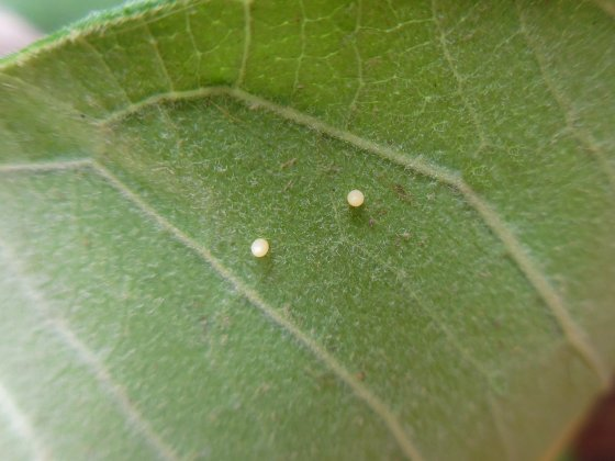 Monarch eggs on Common Milkweed