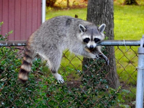 Raccoon on a fence