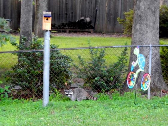 Raccoon stalking bluebird nest box