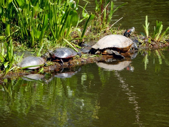 Eastern Painted turtles and Red Eared Slider