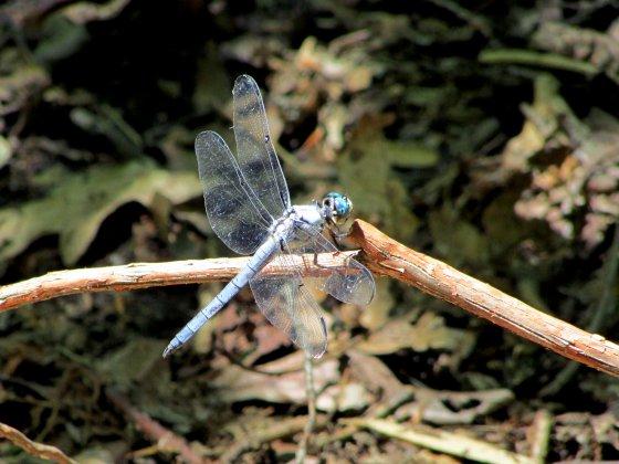 Eastern Pondhawk male