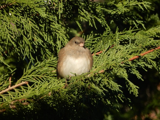 Junco female