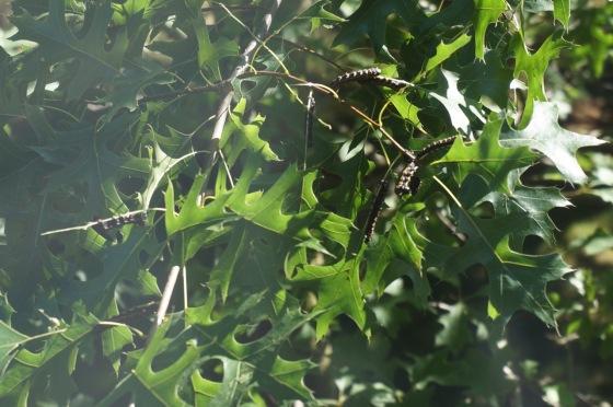 Orange-striped oakworm caterpillars feedign on black oak leaves