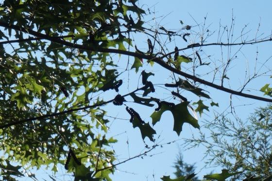 orange-striped oakworm in black oak tree