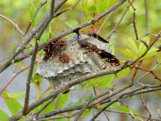 Paper Wasps building a nest