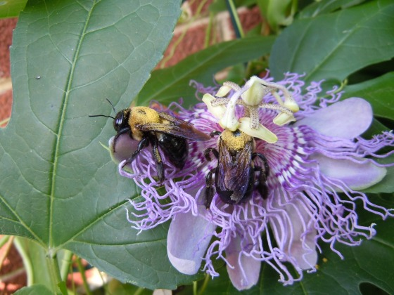 Carpenter Bees with pollen on their backs