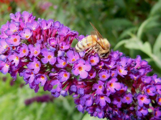 honey-bee-on-a-butterfly-bush