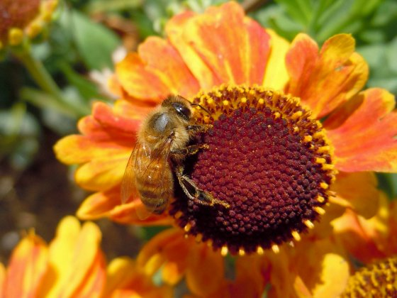 honey-bee-on-a-sneezeweed