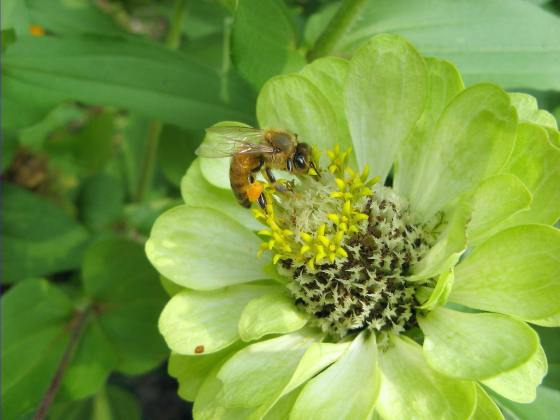 honey-bee-on-a-zinnia