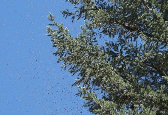 honeybee-swarm-1