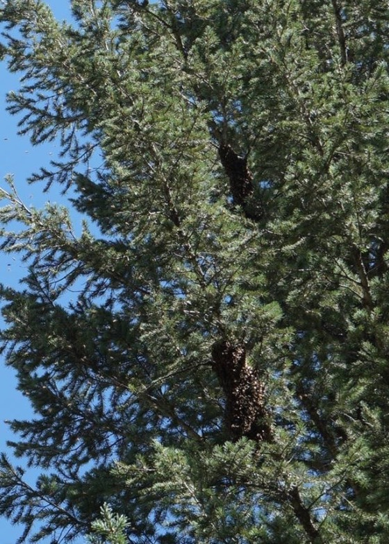 honeybee-swarm-collecting-on-branch