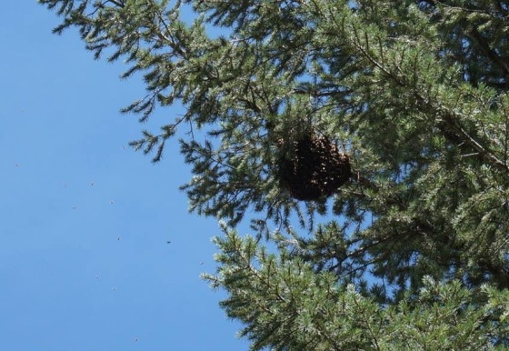 honeybee-swarm-gathering-before-they-move-on