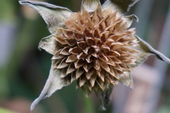 mexican-sunflower-seedhead