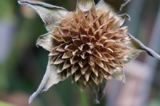 mexican-sunflower-seedhead