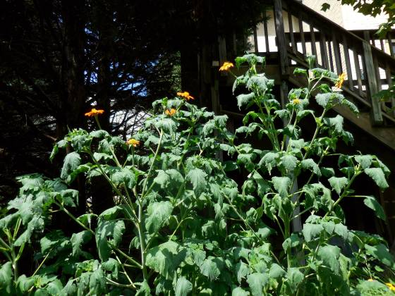 Mexican Sunflower stand