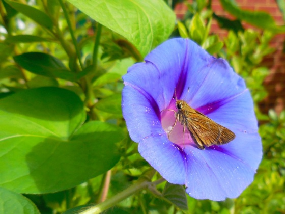Skipper on Morning Glory