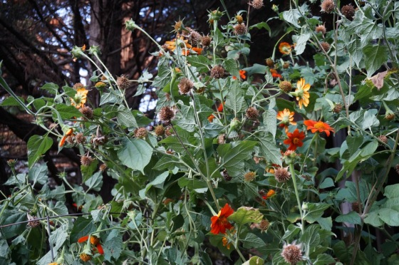 sunflower-gone-to-seed