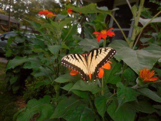 Tiger Swallowtail on Mexican Sunflower