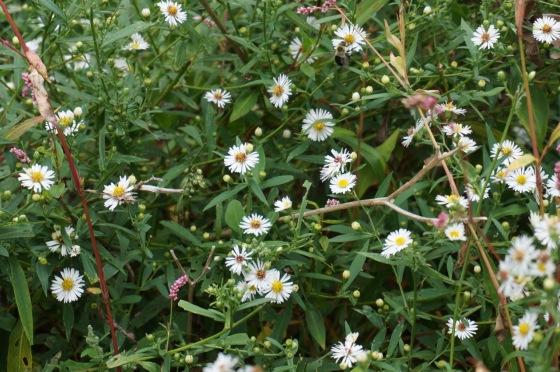 Aster wildflower