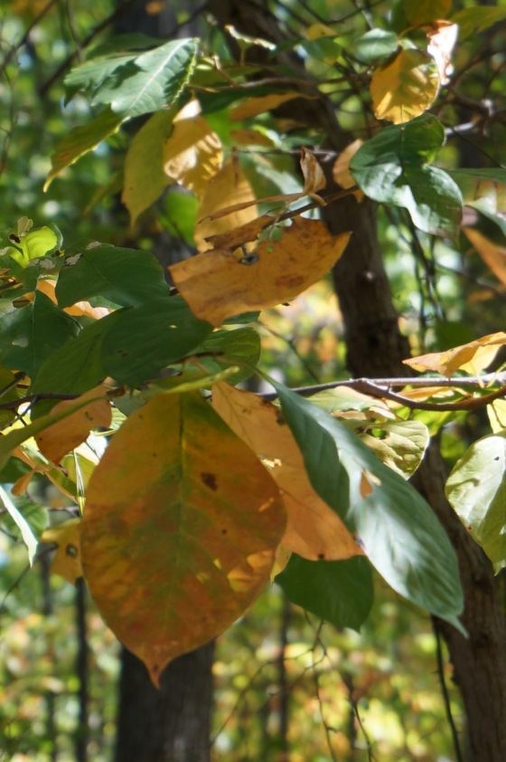 Black Tupelo Blackgum tree leaves