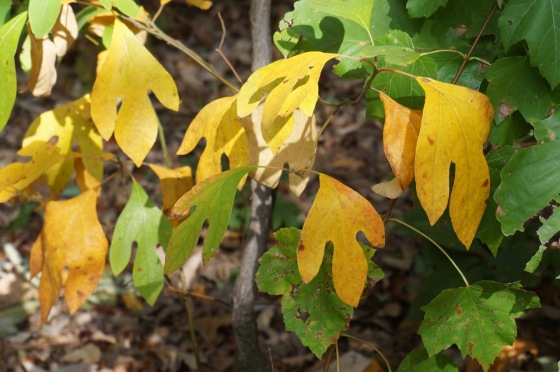 Sassafras leaves in fall color