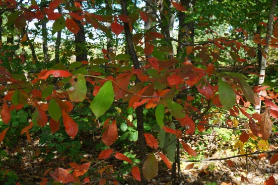Black Tupelo Black Gum tree leaves
